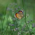 南国の蝶1(カバマダラ)