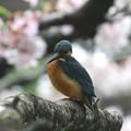 写真: 桜カワセミ