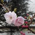 写真: 八重桜 普賢象