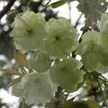 写真: 緑色の桜