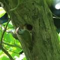 写真: 巣作りしてるアオゲラ