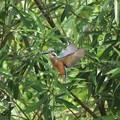 写真: カワセミ幼鳥のホバリング
