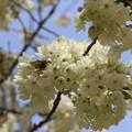 写真: ウコン桜