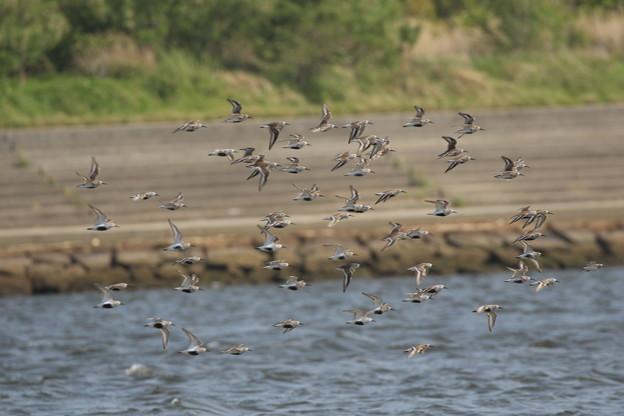 ハマシギ群れの飛翔