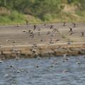 写真: ハマシギ群れの飛翔