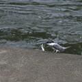 写真: ヤマセミさん、お魚ゲット