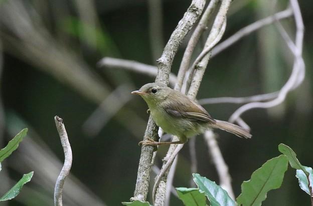 Photos: ウグイスの幼鳥