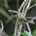 ウグイスの幼鳥