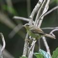 写真: ウグイスの幼鳥