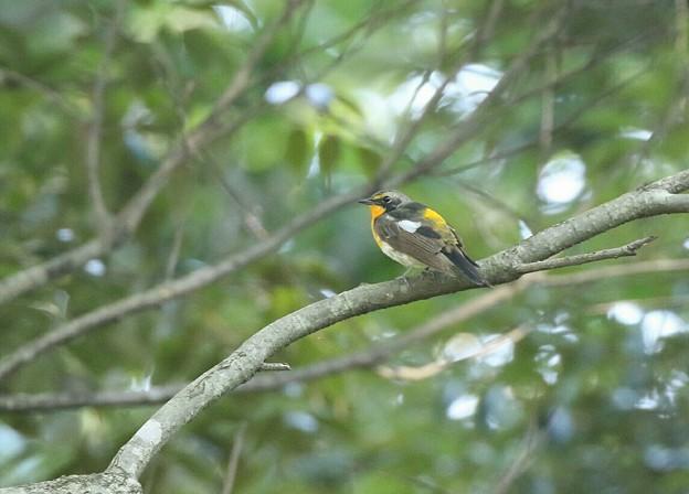キビタキ 若鳥