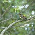 写真: キビタキ 若鳥