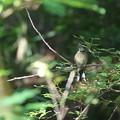 写真: ホオジロの幼鳥