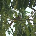 メグロヒヨドリ