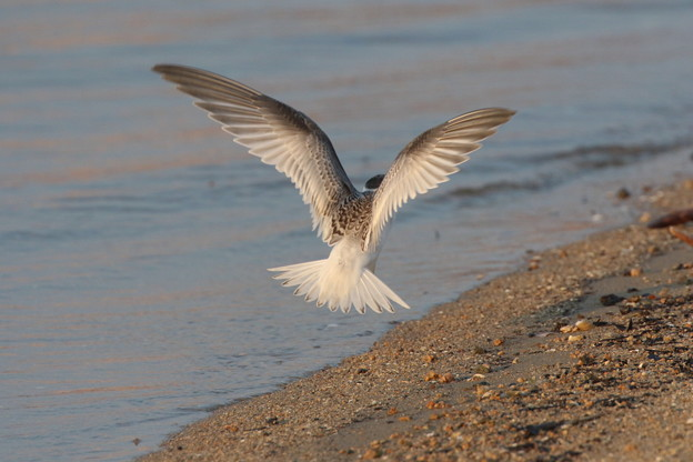 コアジサシの飛翔