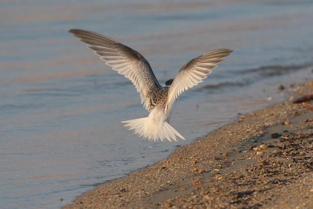 Photos: コアジサシの飛翔