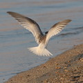 写真: コアジサシの飛翔