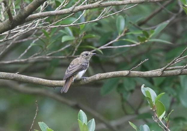 Photos: キビタキの幼鳥