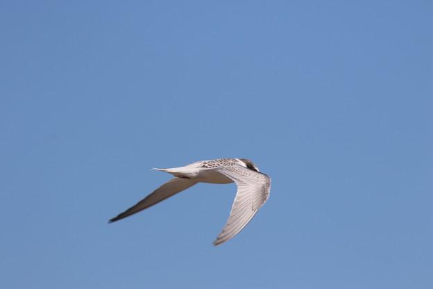 コアジサシ幼鳥の飛翔