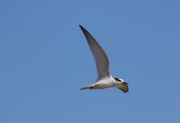 Photos: コアジサシ幼鳥の飛翔