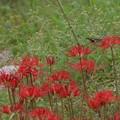 彼岸花とアゲハ蝶