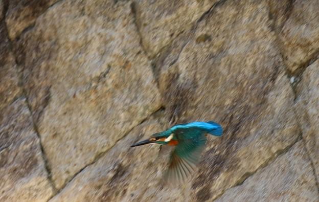 カワセミの飛翔姿