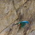 Photos: カワセミの飛翔姿
