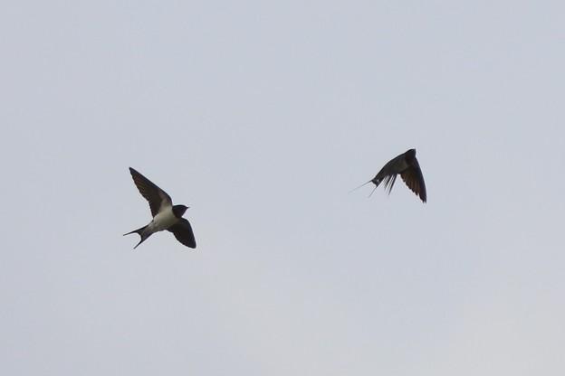 ツバメの飛翔