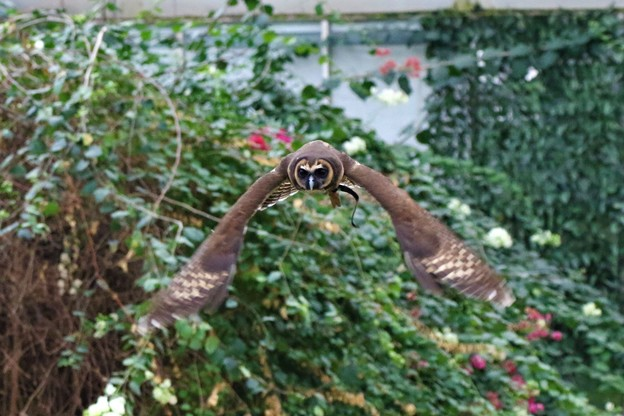 Photos: オオフクロウの飛翔