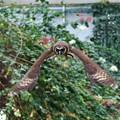 写真: オオフクロウの飛翔