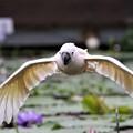 写真: オウムの飛翔