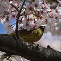 Photos: 桜アオジ