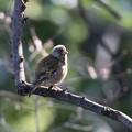 カワラヒワの幼鳥?