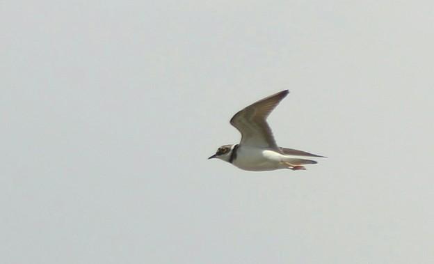 コチドリの飛翔