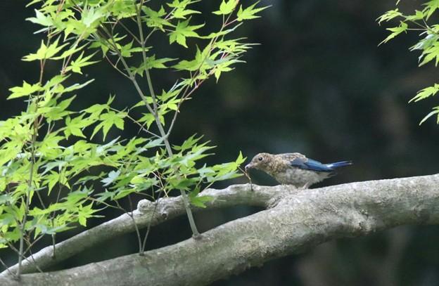 オオルリの幼鳥