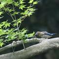 Photos: オオルリの幼鳥