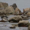 Photos: シロチドリとソリハシシギ