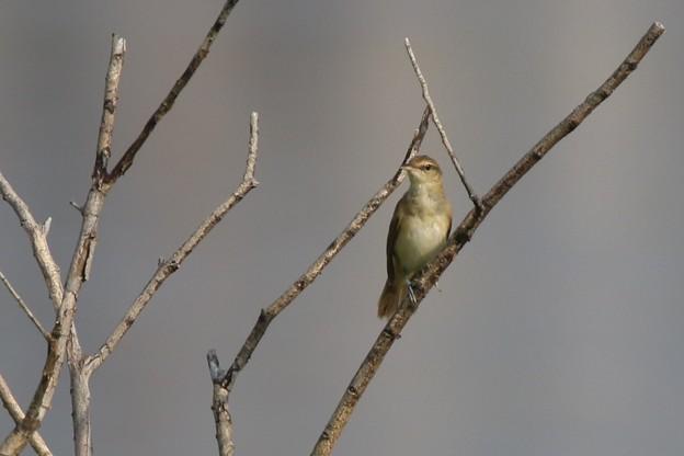オオヨシキリの幼鳥
