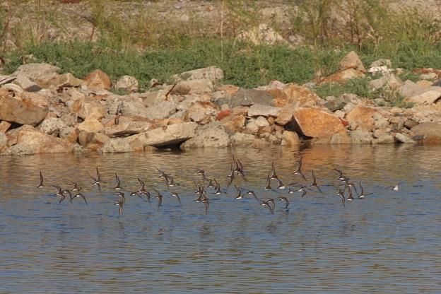 イソシギの群れの飛翔