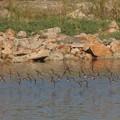 Photos: イソシギの群れの飛翔