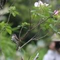 Photos: フヨウなお花とコサメビタキ