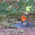 Photos: コマドリの水浴び