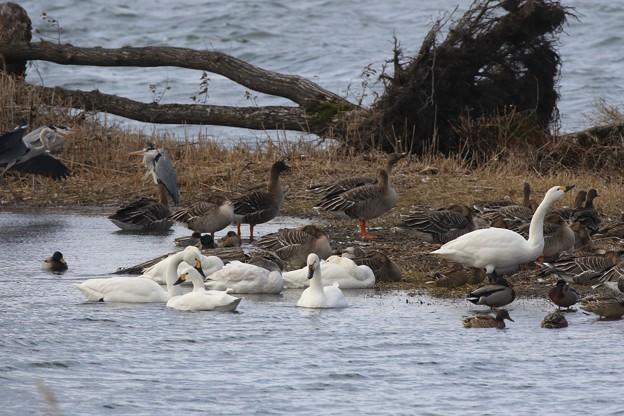 琵琶湖の水鳥さん