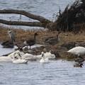 Photos: 琵琶湖の水鳥さん