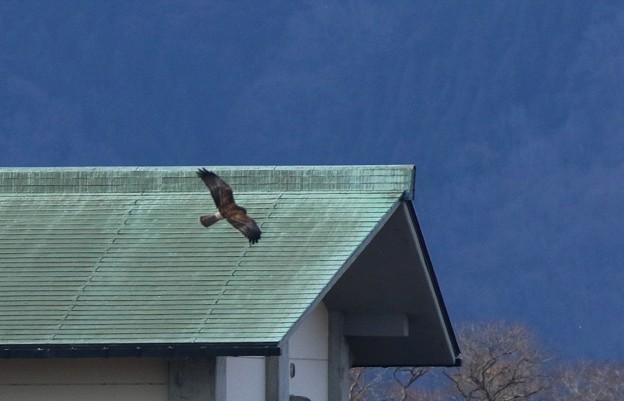 チュウヒの飛翔