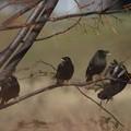 Photos: ハッカチョウの群れ