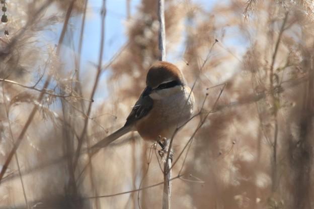 河原の百舌鳥
