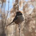 Photos: 河原の百舌鳥