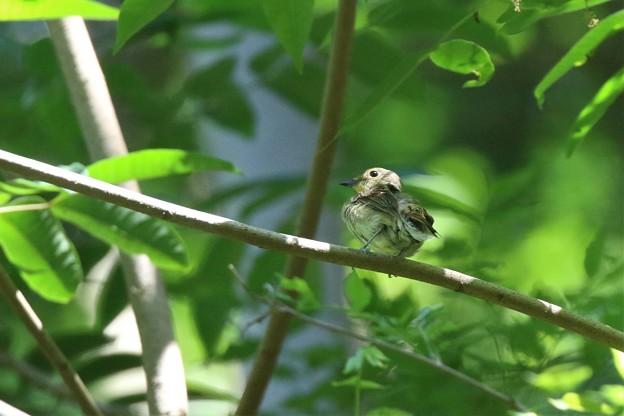 オオルリ 幼鳥さん
