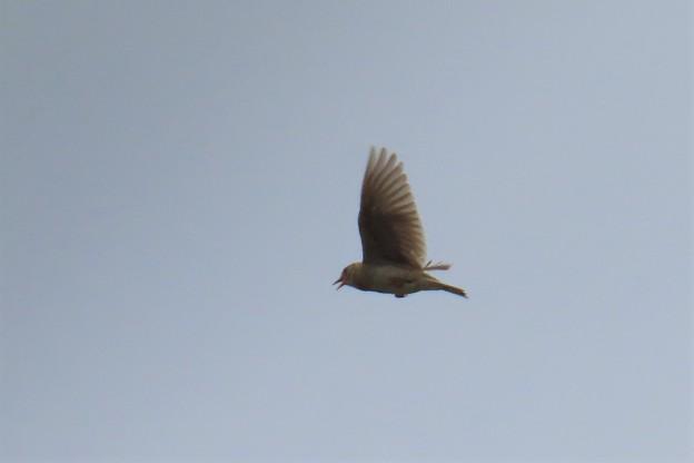 Photos: ヒバリの飛翔