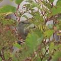 オオヨシキリ幼鳥